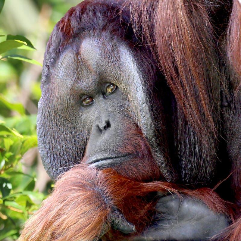 Retrato de Orangutang imagens de stock