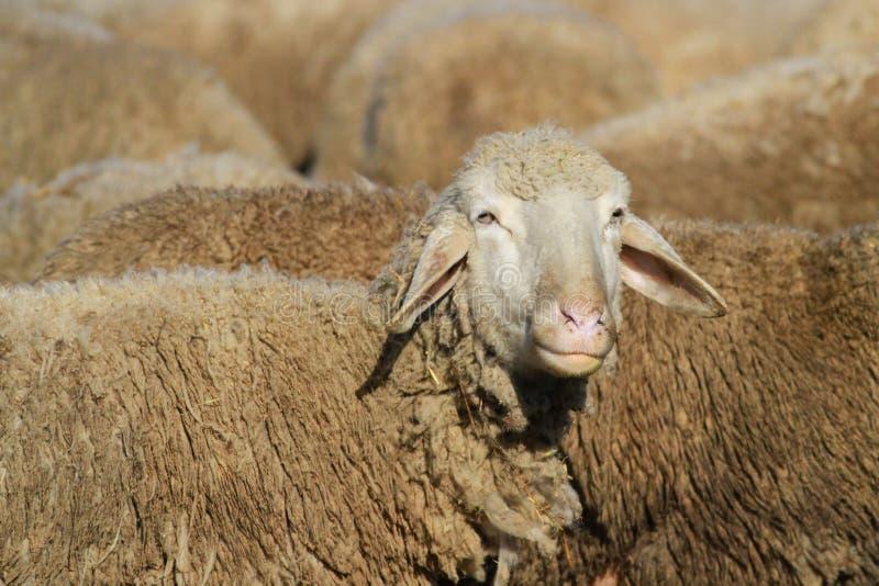 Retrato de ovejas imagenes de archivo