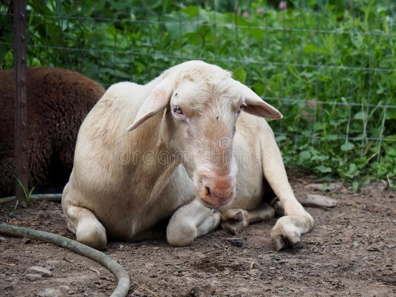 Retrato de ovejas blancas de reclinación imagen de archivo