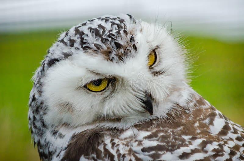 Retrato de Owl Bubo Scandiacus nevado tímido imagem de stock royalty free