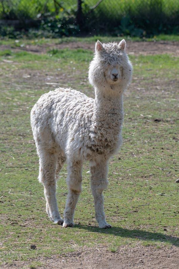 Retrato de pacos bonitos da alpaca ou do Vicugna imagens de stock royalty free