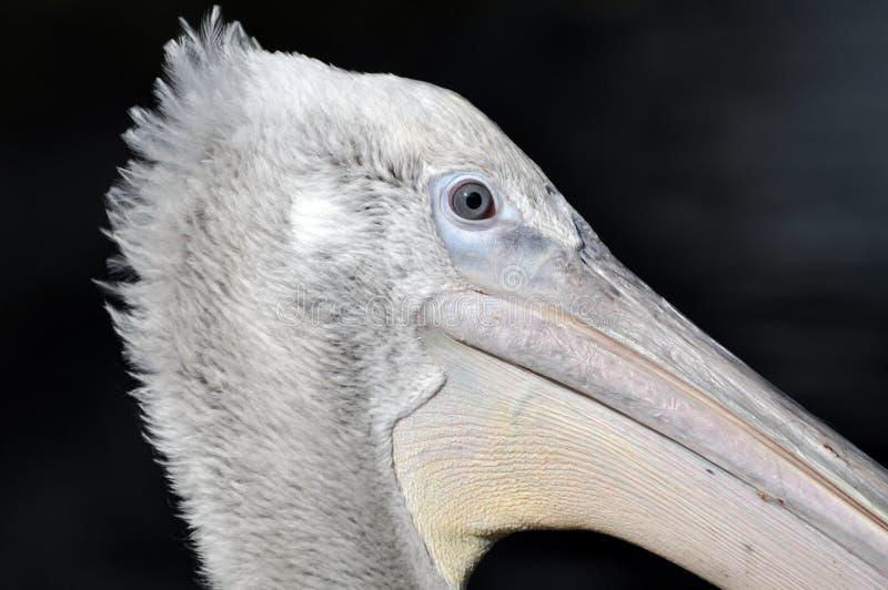 Retrato de Pelikan fotografía de archivo