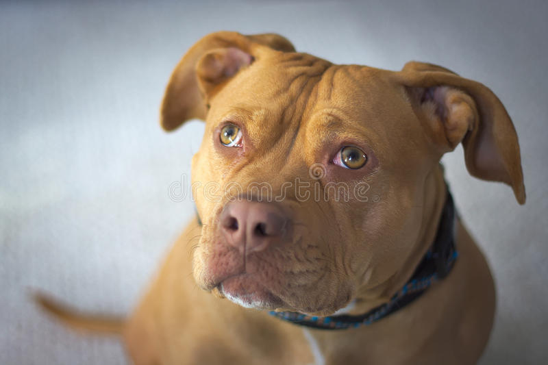 Retrato de Pit Bull Red Nosed Staffordshire Terrier foto de stock royalty free
