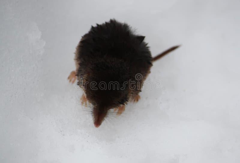 Retrato de rato listrado da grama Proboscideus de Macroscelides imagem de stock royalty free