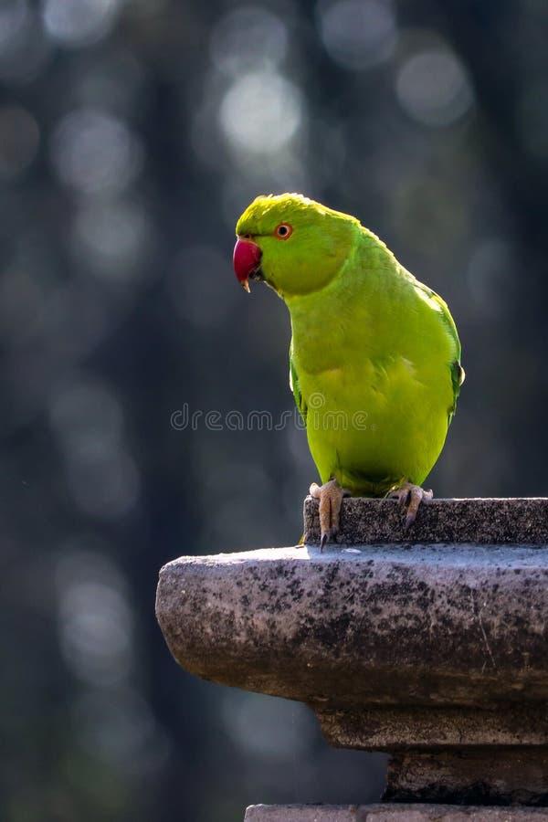 Retrato de Rose Ringed Parakeet fotografia de stock
