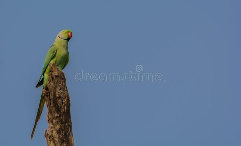 Retrato de Rose Ringed Parakeet Perched salvaje foto de archivo libre de regalías