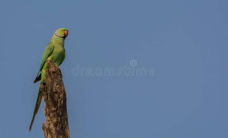 Retrato de Rose Ringed Parakeet Perched selvagem foto de stock royalty free