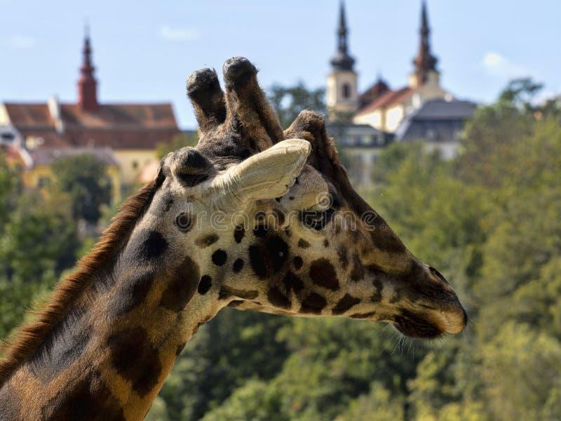 Retrato de Rothschildi, Baringo Giraffe, camelopardalis Giraffa, en las torres de la iglesia de fondo imagen de archivo