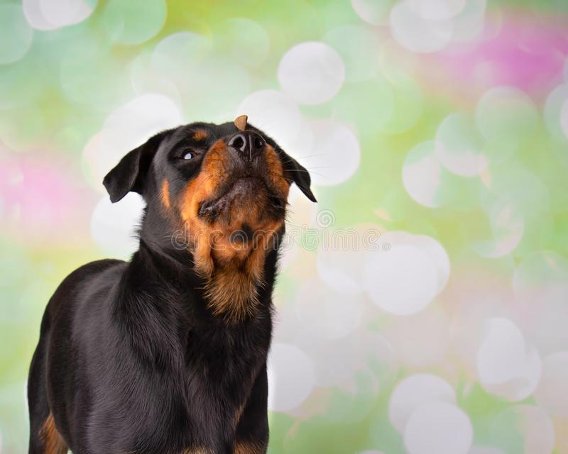 Retrato de Rottweiler en la invitación del estudio en nariz fotografía de archivo