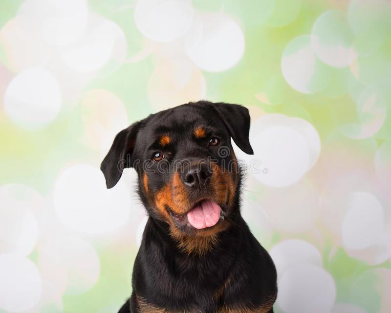Retrato de Rottweiler na cara do estúdio fotos de stock