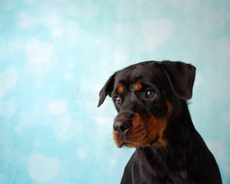 Retrato de Rottweiler na cara do estúdio no fundo azul e branco do coração imagem de stock