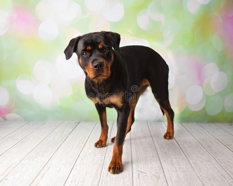 Retrato de Rottweiler na posição do estúdio imagem de stock