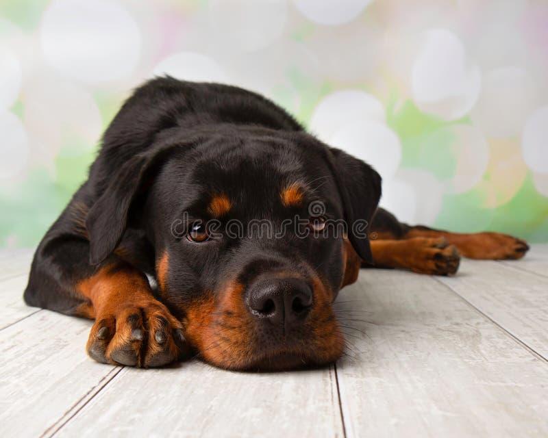 Retrato de Rottweiler no estúdio que encontra-se para baixo imagem de stock