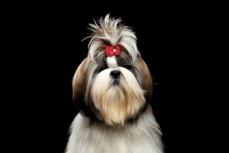 Retrato de Shih Tzu imagens de stock royalty free