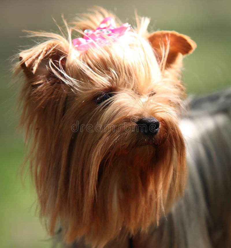 Retrato de Shih Tzu Dog foto de stock