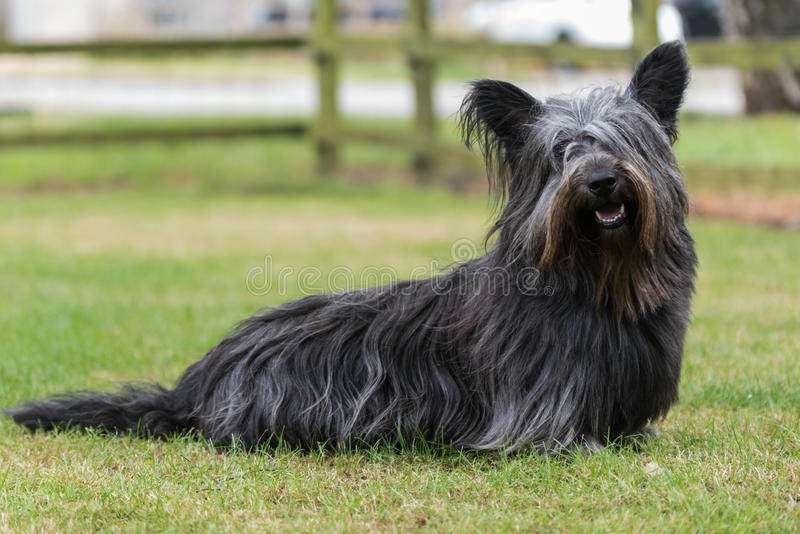 Retrato de Skye Terrier fotos de archivo libres de regalías