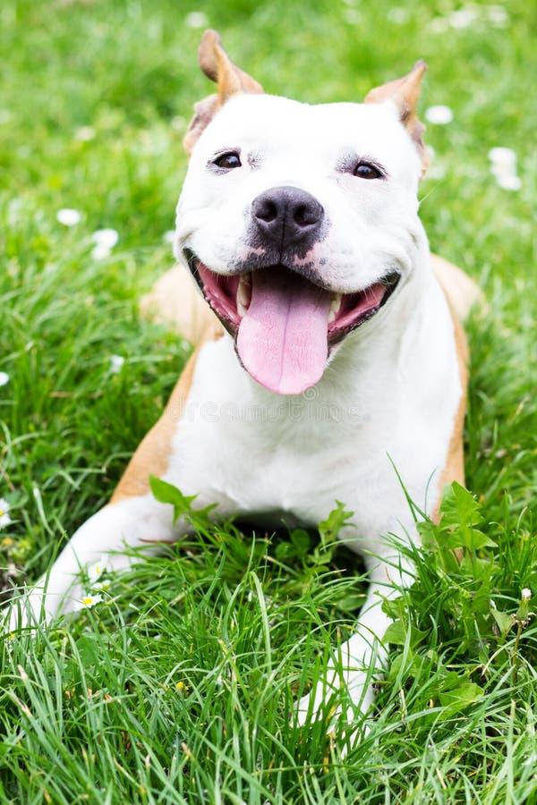 Retrato de Staffordshire Terrier americano lindo fotografía de archivo libre de regalías