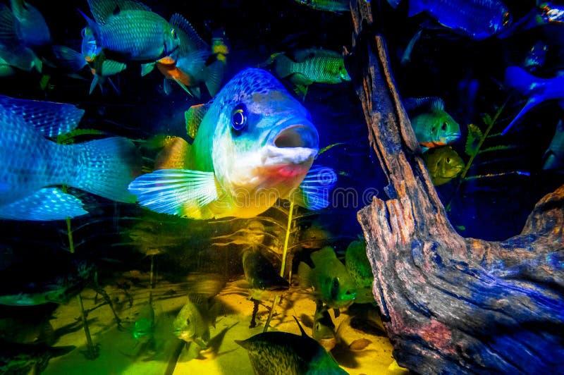 Retrato de Talapia em um aquário fotos de stock