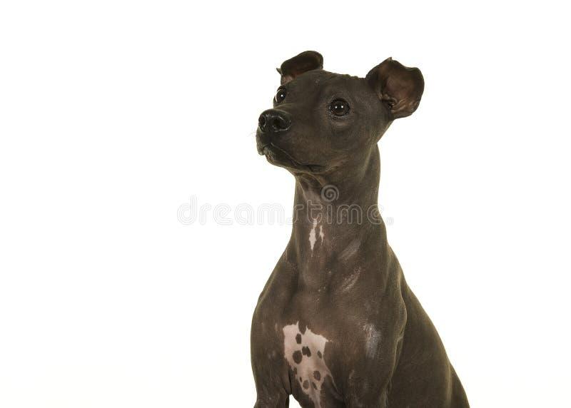 Retrato de Terrier sin pelo americano aislado en un CCB blanco imagen de archivo libre de regalías