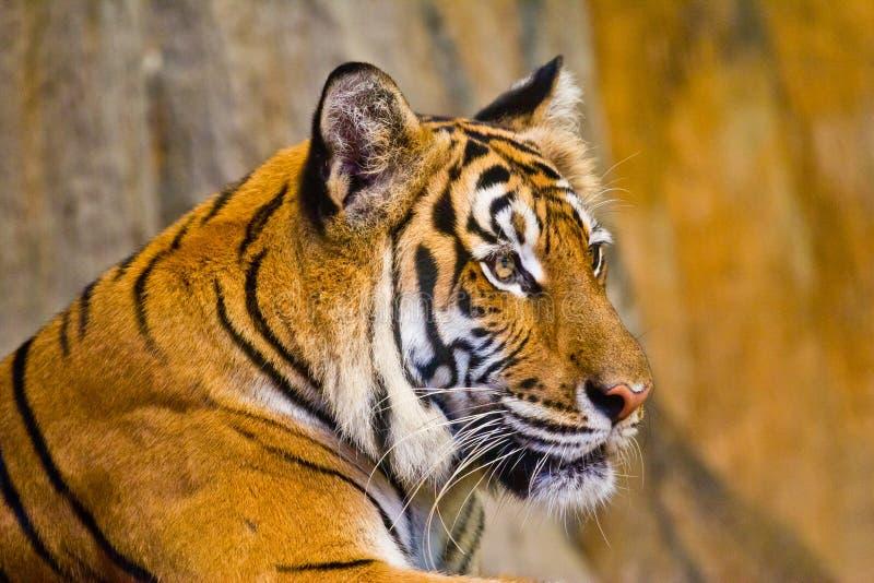 Retrato de tigres de Amur foto de stock