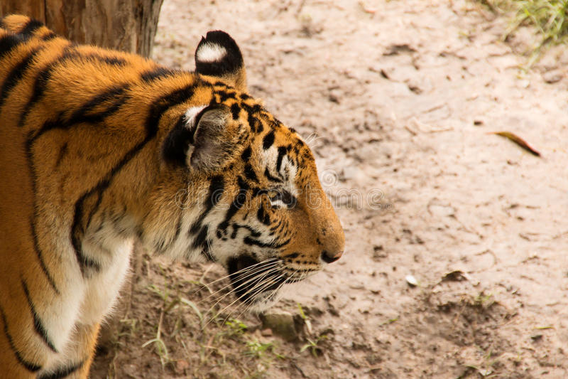 Retrato de tigres de Amur imagens de stock