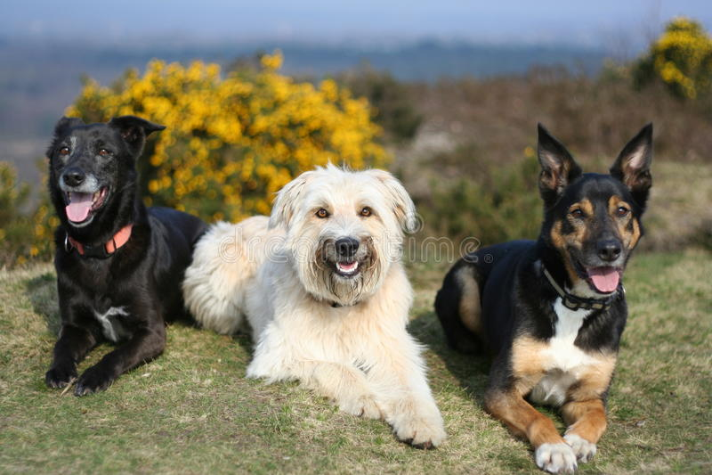 Retrato de três cães na grama foto de stock