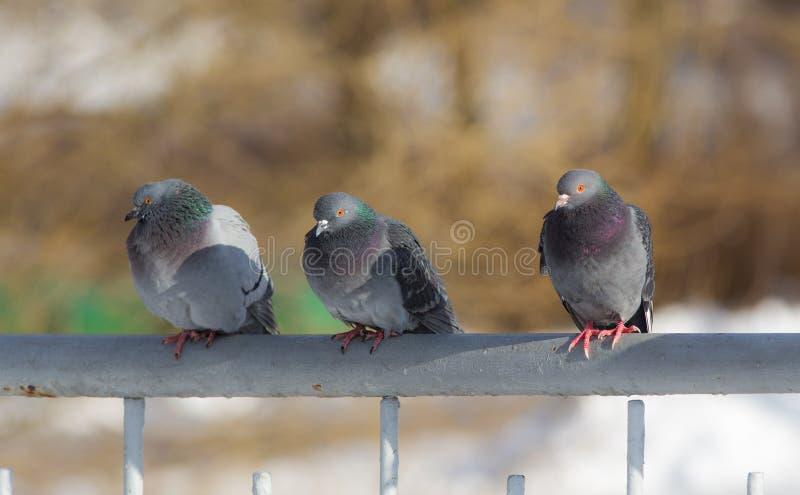 Retrato de três pombos imagens de stock