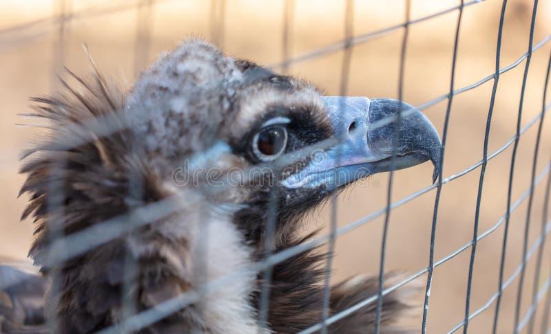 Retrato de um abutre atrás da cerca no jardim zoológico fotografia de stock
