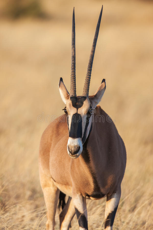 Retrato de um antílope do gemsbok (gazella do Oryx) no deserto, África fotografia de stock royalty free