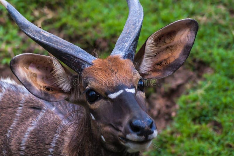 Retrato de um antílope masculino novo do kudu foto de stock