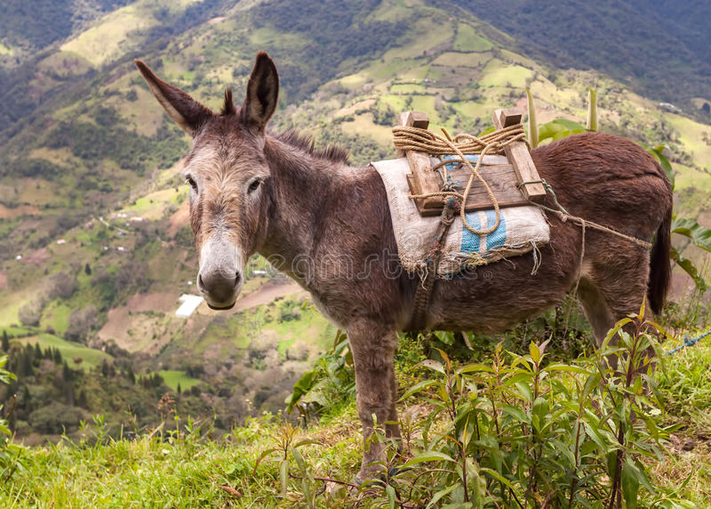 Retrato de um asno, montanhas de Andes imagens de stock