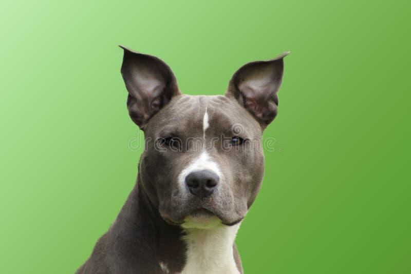 Retrato de um azul americano novo do terrier de Staffordshire do cão com um gabinete tocante vívido imagens de stock royalty free