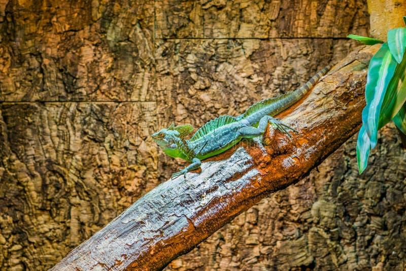 Retrato de um basilisco plumed verde que senta-se em um ramo de árvore, lagarto protegido com capacete masculino, réptil tropical foto de stock royalty free