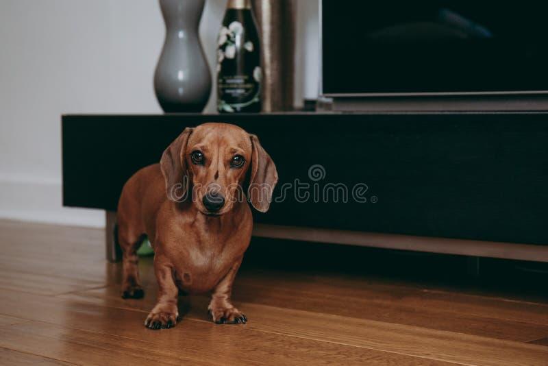 Retrato de um bassê liso marrom do cabelo em casa fotografia de stock