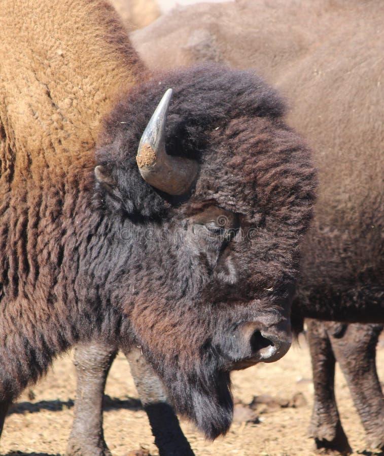 Retrato de um bisonte americano na beira 6 de Colorado-Wyoming fotografia de stock royalty free