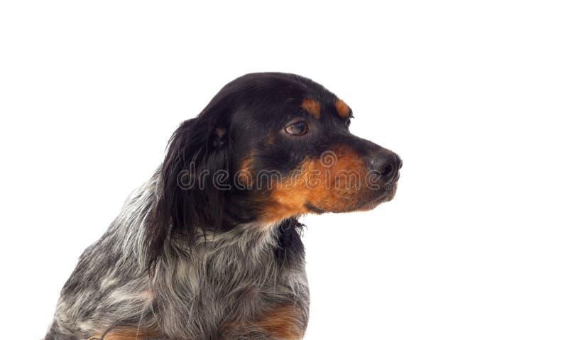 Retrato de um bretão do spaniel imagens de stock royalty free