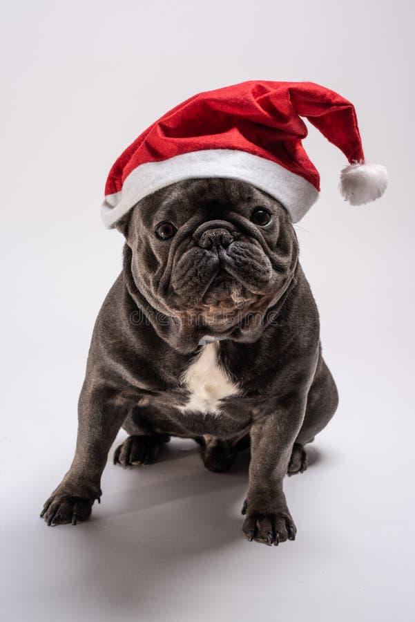 Retrato de um buldogue francês adorável que veste um chapéu de Santa Claus que olha à câmera fotos de stock royalty free
