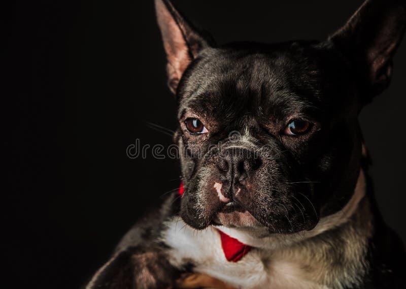 Retrato de um buldogue francês pequeno que veste o laço vermelho fotos de stock