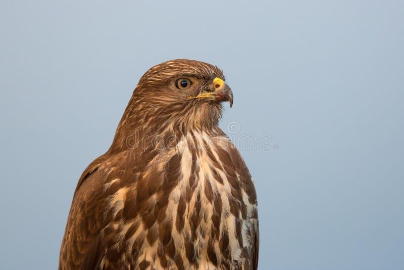 Retrato de um buzzard foto de stock royalty free