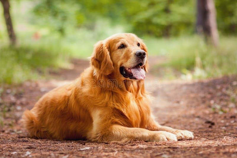 Retrato de um cão foto de stock royalty free
