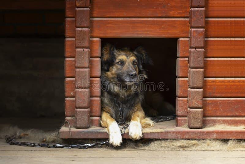 Retrato de um cão adulto bonito que senta-se em sua casa de cachorro de madeira contínua fotografia de stock royalty free