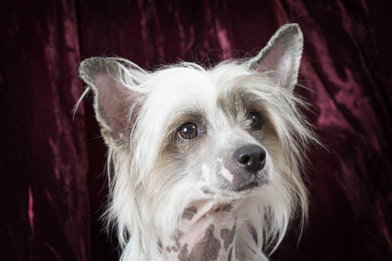 Retrato de um cão com crista chinês calvo do puro-sangue fotografia de stock