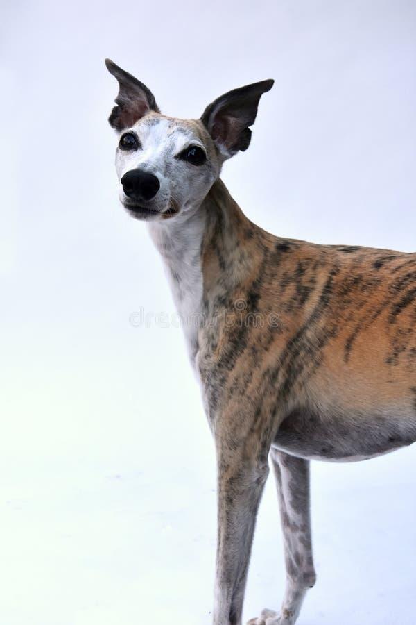 Retrato de um cão de corrida bonito com os olhos surpreendidos grandes foto de stock royalty free