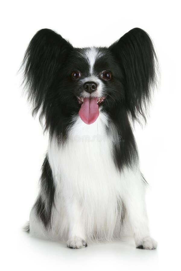 Retrato de um cão da raça do papillon fotos de stock
