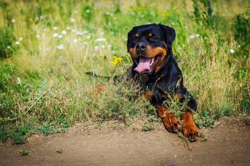 Retrato de um cão da raça um rottweiler no passeio imagens de stock royalty free