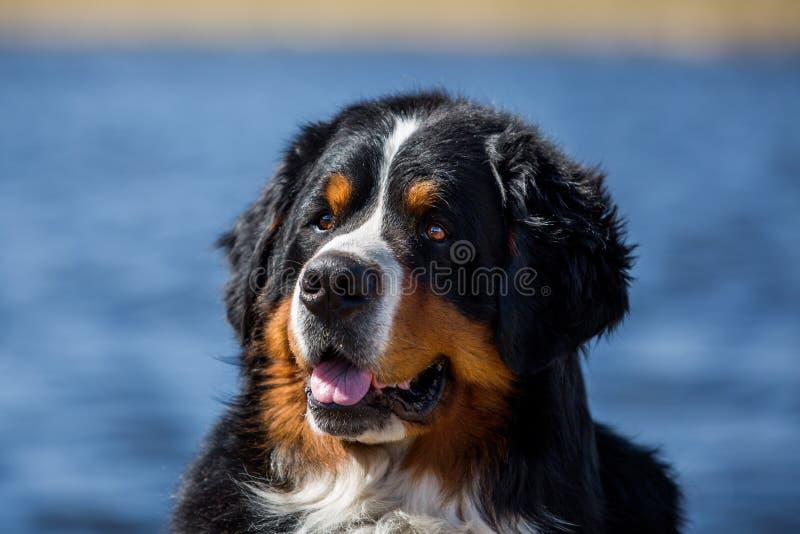Download Retrato De Um Cão De Montanha De Bernese Foto de Stock - Imagem de pets, outdoors: 65576876
