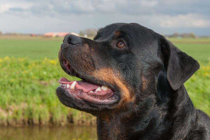 Retrato de um cão de Rottweiler com a boca aberta foto de stock