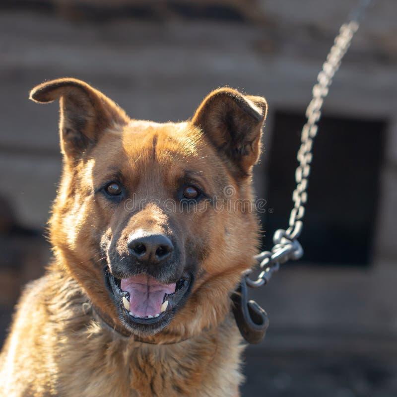 Retrato de um cão em uma corrente foto de stock