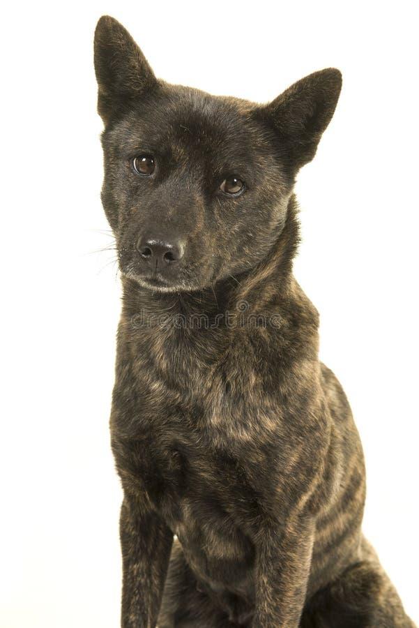 Retrato de um cão fêmea de Kai Ken a raça japonesa nacional que olha a câmera fotografia de stock royalty free