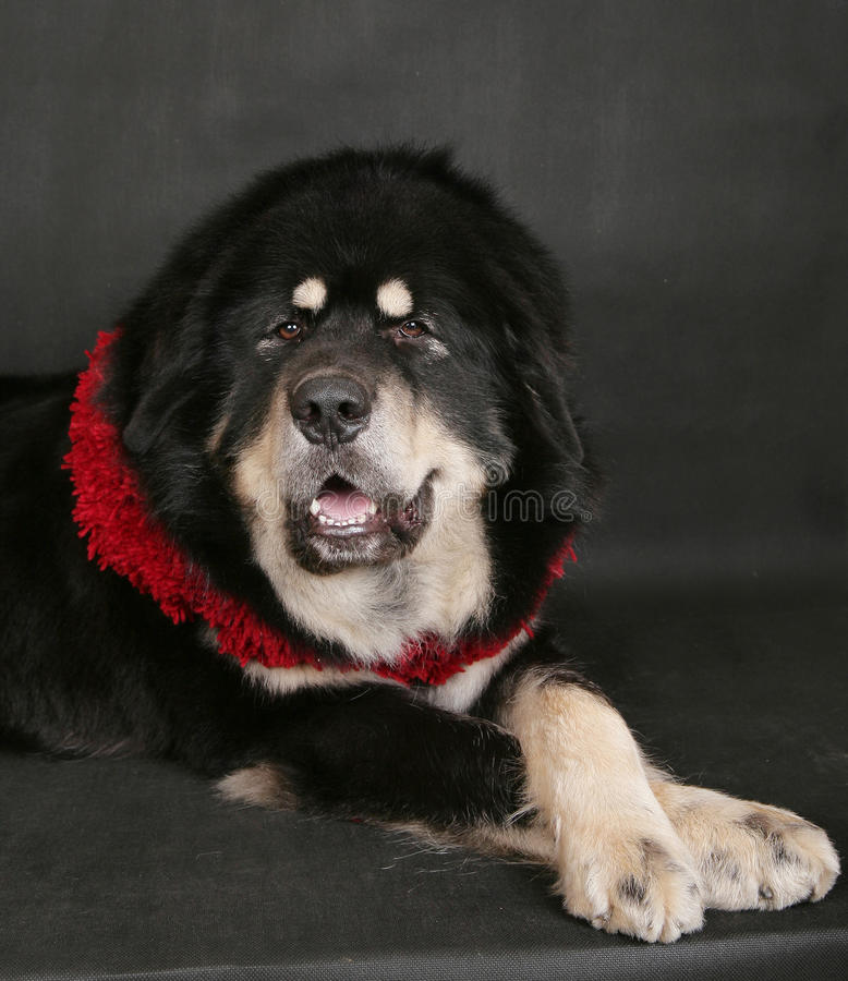 Retrato de um cão grande em um fundo preto. imagens de stock royalty free